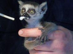15) Lemur