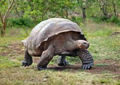 Giant tortoise from the Galapagos