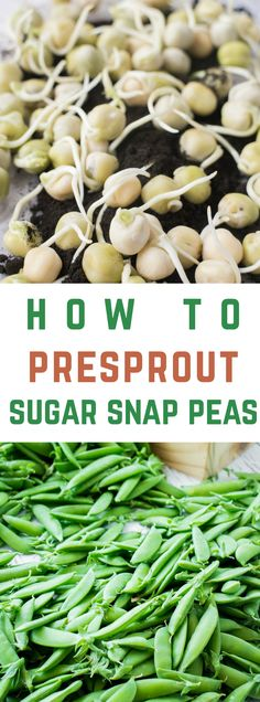 Easy step by step instructions on how to presprout Sugar Snap Peas. By doing this you're promised that your seeds won't rot before they sprout under the soil resulting in a successful plant and pounds of sugar snap peas to pick!