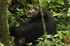 Kibale National Park Chimpanzee