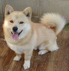 Shiba inu × Corgi= This dog.   Needs to be more of a red color... But finally I think this is what my Benny is! Ahhh!