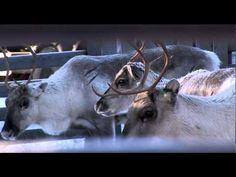 Lapland's Symbol – Reindeer