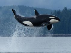 Transient Orca T02C doing the most Amazing Leap May 19, 2013 Garry Henkel, Aboriginal Journeys Whale and Grizzly Bear Tours