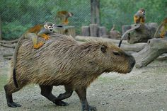 squirrel monkey riding a capybara -- not something you see every day in my neighborhood