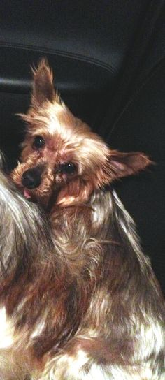 In Maine-Meet Sweet Lucy! Lucy is 7 year old 7lbs Yorkshire Terrier. Lucy is very sweet and would love to be your little lap dog. She never barks, gets along great with other dogs, doesn't mind cats, rides well in the car and loves to snuggle with her human....