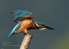 Kingfisher by ro-bi Animals Photography #InfluentialLime