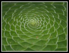spirals in nature Patterns In Nature, Textures Patterns, Spirals In Nature, Natural World, Plant Leaves, Creative, Curls, Cactus, Succulents