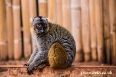 Bamboo lemur sitting on a fence.   See the rest of my wildlife images in full size by clicking on the thumbnail.  They are also available to buy in a variety for formats or as a digital download without the watermark. #lemur #zoo