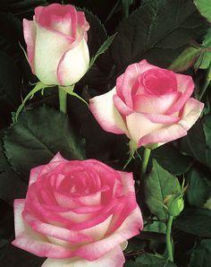 Biedermeier Garden®. Een compactbossig groeiende elegante klassieke theehybride. De dicht-gevulde bloemen vertonen een verrukkelijk kleurenspel van zuiver wit met een kersenrode rand. De goed doorgroeiende struik staat garant voor een onvermoeibare, doorbloeiende bloemenpracht. De lang houdbare bloemen zijn ook als snijroos zeer waardevol, wat door de heerlijke geur nog wordt versterkt.