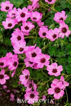 """Ballerina Cranesbill-Geranium cinereum 'Ballerina' ~ Dainty, pink flowers marked with purple veining above lacy, gray green foliage. An outstanding, long blooming addition to borders or rock gardens. Herbaceous perennial. Spreading mound 6-8"""" tall, 12-15"""" wide; zones 4-9; partial to full sun"""