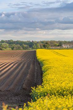 Rapeseed Fields (Canola), England