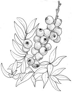 Image result for blueberry drawings