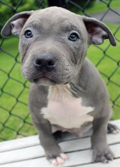 Blue Nose Pitbull Puppies For Sale - Blue Nose Pitbull Breeders - Baby Pitbulls For Sale American Pitbull Puppies, Pitbull Breeders, Blue Nose Pitbull Puppies, Pitbull Terrier Puppies, Pitbull Dog Puppy, Pitbull Puppies For Sale, Puppies Near Me, Blue Pitbull, Free Puppies