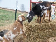 Gizmo and Spike are the best of friends.  Minnie Jewel Farm, Mountain Grove, MO. Photo:  S. Thorn, Mar 2011