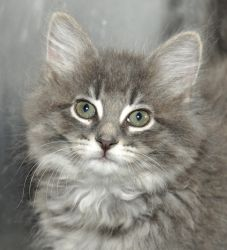 Bacon is an adoptable Domestic Long Hair-Gray Cat in Libertyville, IL. Bacon is a beautiful long haired kitten. She is about 8 weeks old as of June 13. Bacon is an extremely mild mannered girl with th...