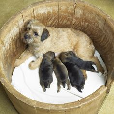 Border Terrier Mommy and babies :)  I need one of these please.