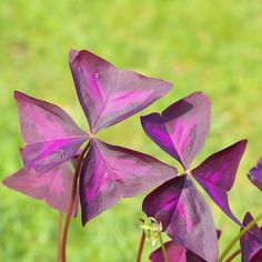 20 Oxalis Triangularis (Purple Shamrock) Bulbs - Walmart.com - Walmart.com Bulb Flowers, Pink Flowers, Shamrock Plant, Purple Shamrock, Oxalis Triangularis, Easy To Grow Bulbs, Amaryllis Bulbs, Bulbs For Sale, Spring Plants