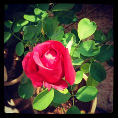 Growing rose at home. Learn to grow rose at home. http://designgreenindia.com/?p=91