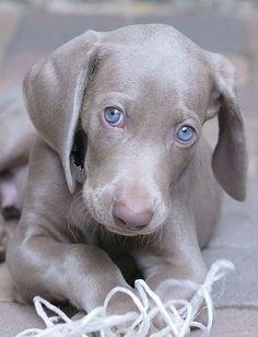Blue eyed Weimaraner <3