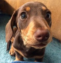 Things we all respect about the Spunky Daschund Puppies Dachshund Breed, Dachshund Funny, Long Haired Dachshund, Daschund, Dachshund Facts, Dapple Dachshund, Brown Dachshund, Dachshund Clothes, I Love Dogs