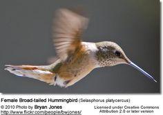 Female Broad-tailed hummingbird (Selasphorus platycercus)