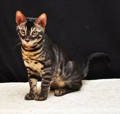 charcoal bengal cats | Charcoal Bengal Cat Information Resource Website