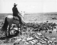Old time cowboy and his cattle