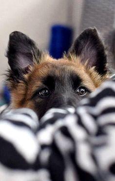 Wicked Training Your German Shepherd Dog Ideas. Mind Blowing Training Your German Shepherd Dog Ideas. Cute Puppies, Cute Dogs, Dogs And Puppies, Doggies, Toy Dogs, Beautiful Dogs, Animals Beautiful, Beautiful Pictures, German Shepherd Dogs