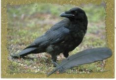 Finland, Raven