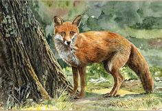 The Fox. A  watercolour by Sylvia Twiss