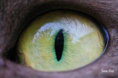 photographie macro oeil de chat