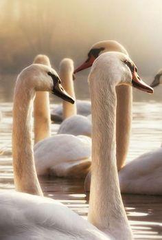 ♔ The Queen's Swans