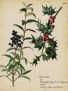 Red Holly Berries botanical watercolour by VintageAndNostalgia, $18.95