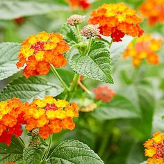 Lantana  Perfect for those hot spots in your garden, lantana thrives in the heat while producing beautiful flowers. Use lantana in containers or hanging baskets, or along the edge of a flowerbed.
