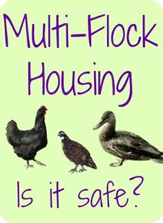 How safe is multi-flock housing?  Can you keep quail, large fowl, bantams and ducks together?  Find out on The 104 Homestead.