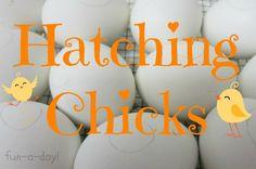 Hatching Chicks with Children