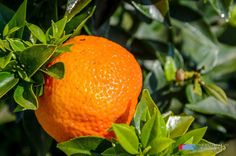 Stefanodav's Shot-Blog: Citrus fruit...