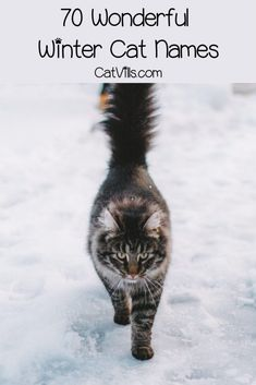 Dec 2019 - Looking for the best winter cat names for your newest feline friend? We've got you covered! Check out 70 that we adore for both males and females! Kitten Names Boy, Cute Cat Names, Pet Names, White Kittens, Cats And Kittens, Introducing A New Cat, Winter Cat, Cat Signs, Cat Care Tips