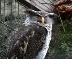 Forest or Spot-bellied Eagle Owl (Bubo nipalensis). Photo by Pierre de Chabannes.