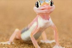 Namibian Gecko Cheeky gecko uses tongue to drink morning dew from his eyes Namibia is famous as a habitation for a wide range of animals. Geckos, Geico Lizard, Farm Animals, Cute Animals, Good Buddy, Weird Creatures, Reptiles And Amphibians, Exotic Pets, Exotic Animals