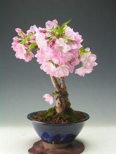 Apreciar la naturaleza en este caso un hermoso Bonzai japonés.