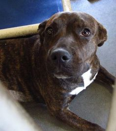 "Lovely Bridgett is just 11 months of age and she recently aced a temperament test. Bridgett is a well-rounded puppy who is said to be great with other dogs and people.  Despite her ""perfection,"" today may be her last day alive. Bridgett has been at this facility since Sept. 16, and nobody, as of yet, has decided to save her life."