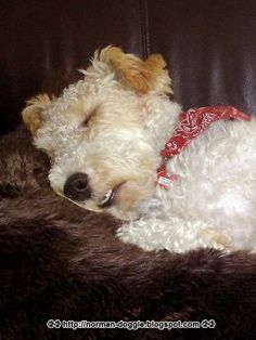 My Patches sleeps with his teeth showing too! Fox Terriers, Chien Fox Terrier, Wirehaired Fox Terrier, Wire Fox Terrier, Wire Haired Terrier, Lakeland Terrier, Cute Dog Pictures, Pet Fox, Scottish Terrier