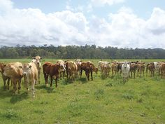 We supply Anipro for beef, which provides protein, minerals and vitamins to stock grazing pasture or crop in a safe and cost effective manner. Agriculture, Farming, Minerals, Vitamins, Protein, Beef, Animals, Meat, Animales