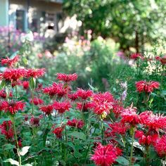 mondarda-bee-balm-red-flowers-35bff979 Bright Flowers, Fall Flowers, Cut Flowers, White Flowers, Purple Flowers, Exotic Flowers, Yellow Roses, Pink Roses, Growing Flowers