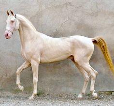 Perlino Akhal teke stallion, Miras. Akhal Teke Horses, Appaloosa Horses, Cute Horses, Pretty Horses, Most Beautiful Horses, Animals Beautiful, Pale Horse, Horse Photography, Cutest Animals