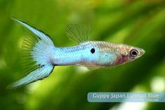 Japan Blue Lyretail Guppy
