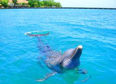 Google Image Result for http://www.caribpro.com/jscripts/tiny_mce/plugins/imagemanager/images/issue7/honduras_dolphin.jpg
