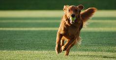 Golden Retriever – An Adorable Dog Dog Commands Training, Basic Dog Training, Boot Camp, Pet Friendly Hotels, Dog Boarding, Dog Park, Dog Behavior, Dog Walking, Doge