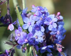 Anchusa azurea, 'Dropmore' - Vibrant blue, edible flowers, good for bees.